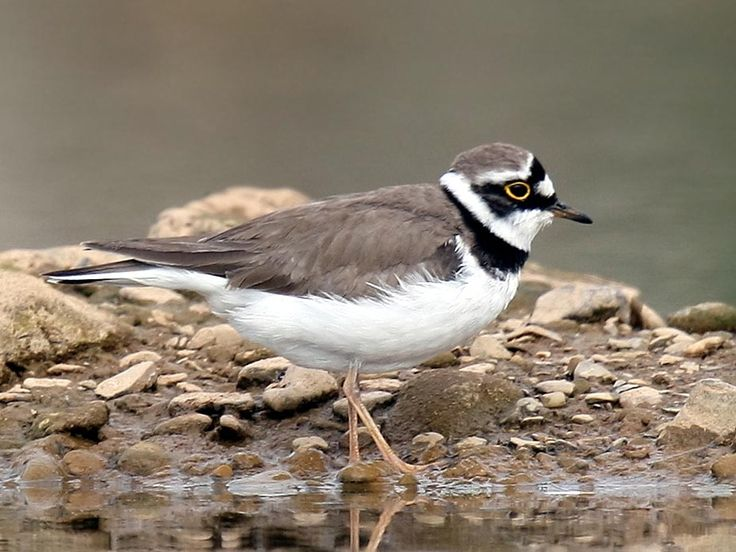 Little Ringed Plover (Charadrius dubius) by Andreas Trepte.