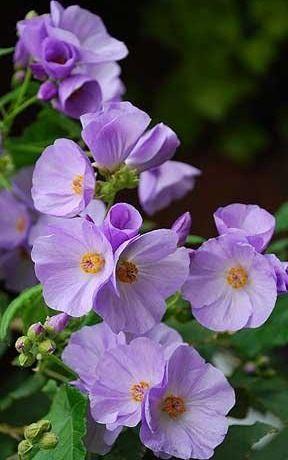 Abutilon suntense http://www.telegraph.co.uk/gardening/plants/7481911/Free-Abutilon-suntense-seeds.html