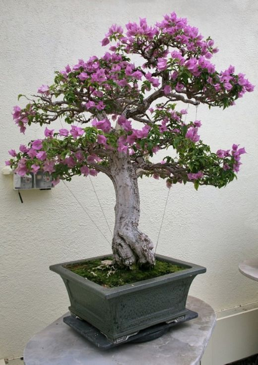 Bougainvillea Winter Care What To Do With A Bougainvillea: Top 25 Ideas About Bougainvillea Bonsai On Pinterest
