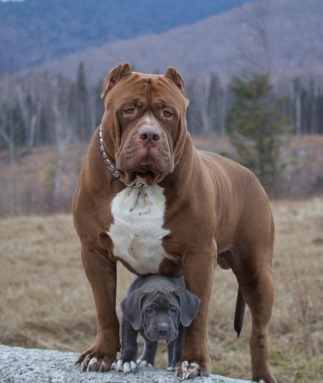 World's Biggest Pitbull, Hulk, Has Puppies That Are Worth $100k