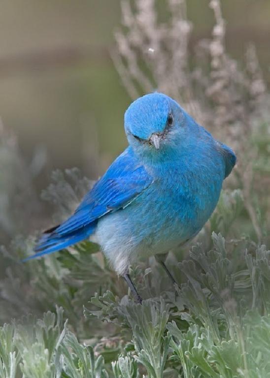 Blue Mountain Bluebird....