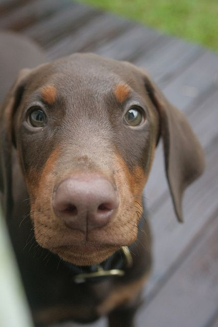 Chocolate Doberman <3 Totally a Reese roo face. :)