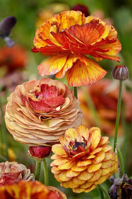 Ranunculus in beautiful autumn colors