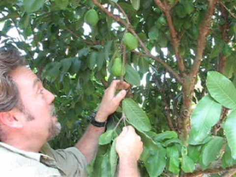 How to Prune a Guava Tree Pt. 2 Followup