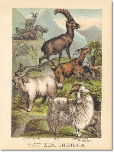 #goatvet likes this http://prints.encore-editions.com/0/500/johnsons-book-of-nature-chromolithograph-49-cashmere-goat-ibex-domestic-goat-angora-goat.jpg