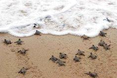 Watching Baby sea turtles. Playa Grande, Costa Rica.