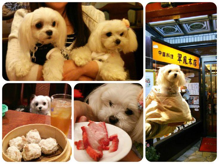 shoppingと…中華街dinner!~横浜散策・最終回~|マルチーズ ▽・ェ・▽ りずむといっしょ♪