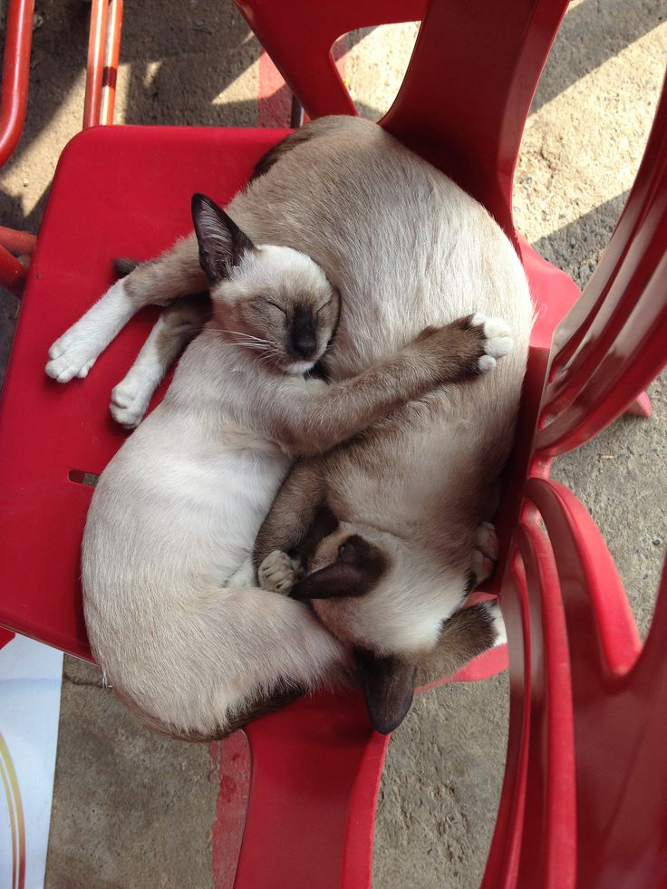2 Siamese cats napping.