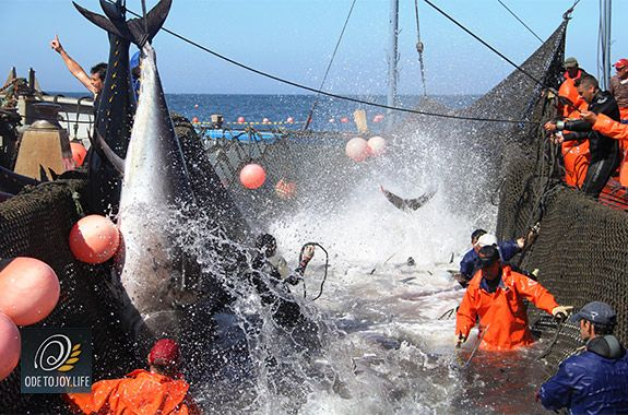 Witness the ancient fishing tradition known as #Almadraba, where massive #BluefinTuna are captured on their way through the Strait of Gibraltrar, then cornered onto the Zahara de los Atunas beaches with an elaborate sequence of nets.