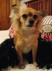 PLEASE REPIIN!!!!!>>>>Gorgeous Gidget is an adoptable Chihuahua Dog in Port CENTRAL OHIO POMERANIAN RESCUE Clinton, OHIO>>>>Clinton, OH. Gidget is a 5 year old, female, Long Haired Chihuahua, 9 lbs., looking for her furever home. She is spayed, heartworm negative, up to date on ...