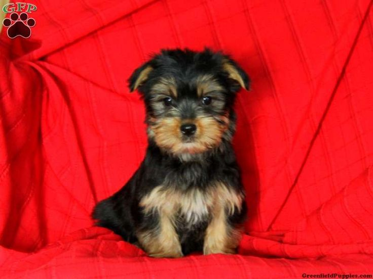 Morkie / Yorktese Puppies For Sale In PA dogs