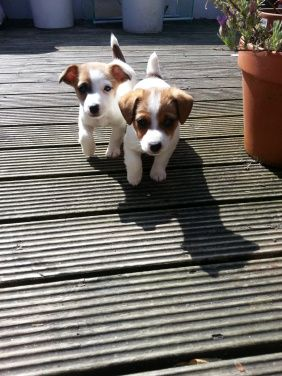 Little tater tots! Cute 8 week old Jack Russell foster puppies
