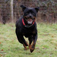 Mia at Rottweiler Rescue Trust