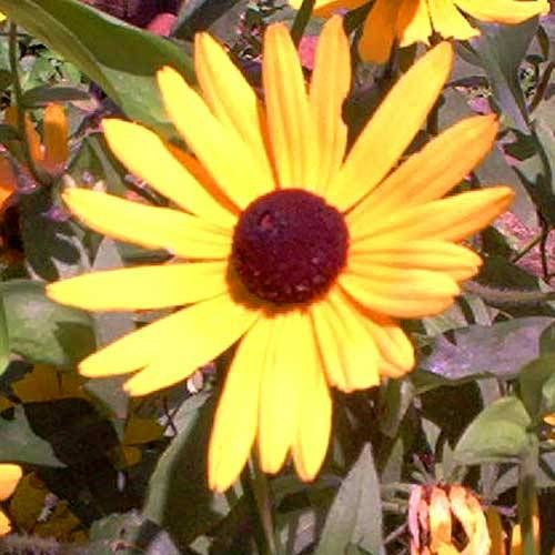 Black-eyed Susan  Black-eyed susan flowers bloom from early summer to autumn. They will reach a height of 2'-3'. Grow black-eyed susan flowers in full sun. Black-eyed susan flowers are a cold-hardy plant and can be grown in zones 3-10.