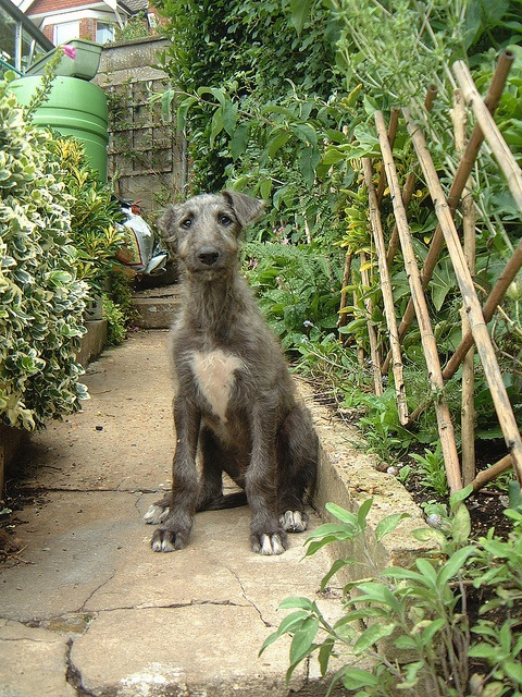 Scottish Deerhound puppy