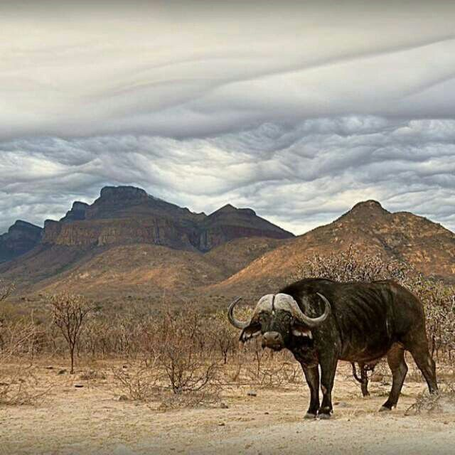Buffalo joining a stunning pic of weird forming clouds at Moholoholo Mountain View.