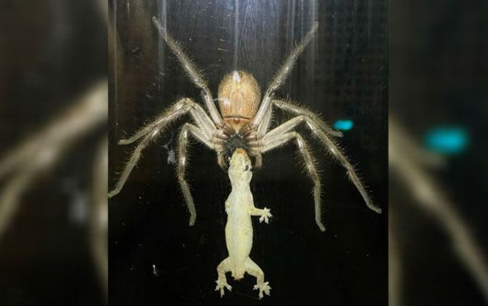Aranha gigante come lagartixa em casa de família