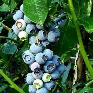 Grow your own organic bluberries