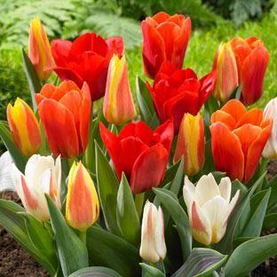Tulip Bulbs For Sale Online | J Parkers Dutch Bulbs