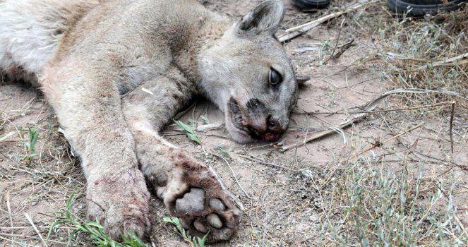 Retiren la recompensa por la caza de pumas y zorros en Río Negro