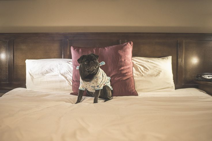 Pet Friendly Accommodation | Mercure Hotel Canberra http://www.thepugdiary.com/pet-friendly-accommodation-mercure-hotel-canberra/
