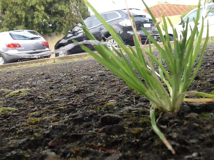 a little bit of grass in the car park #grassinthecar