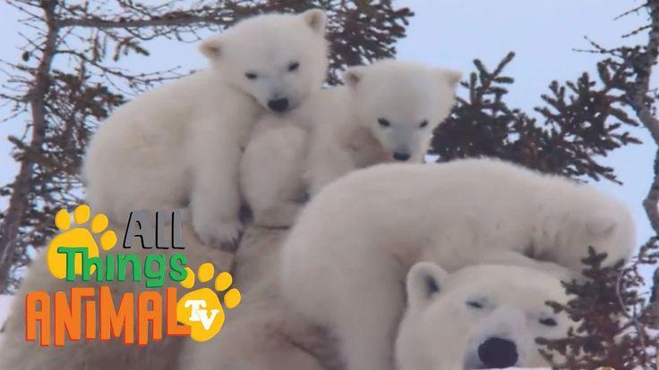 POLAR BEAR | Animals for children. Kids videos. Kindergarten | Preschool...