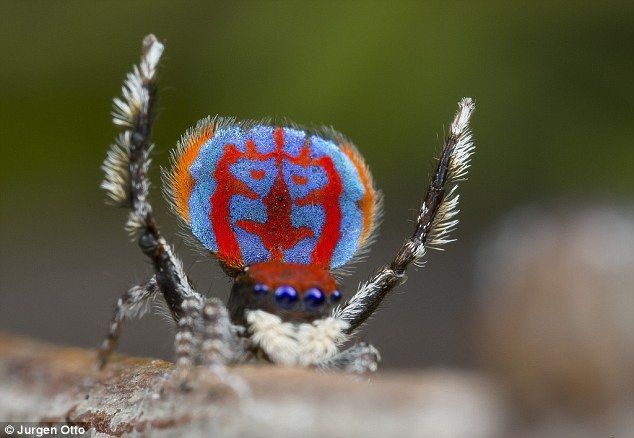 The brightly coloured Maratus bubo (pictured) one of the