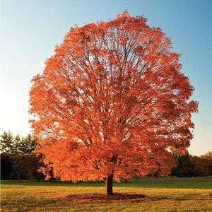 About & Species     GROWING INFORMATION                                Northern Sugar Maple(Acer saccharum, Northern de-winged)                        The Sugar Maple tree is one of the best of the larger shade and lawn trees, an excellent tree for lawn, park, golf courses, and str