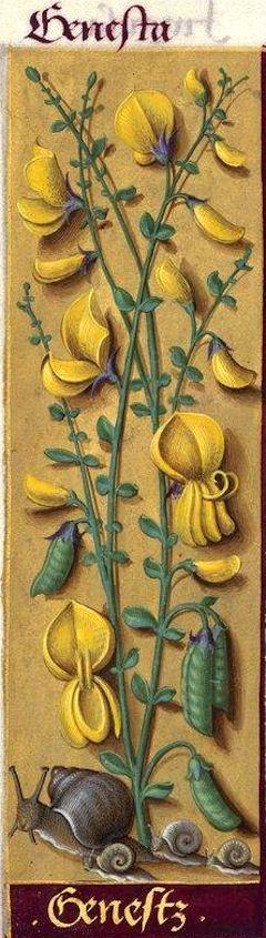 Genestz - Genesta (Sarothamnus scoparius K. = genêt à balais) -- Grandes Heures…