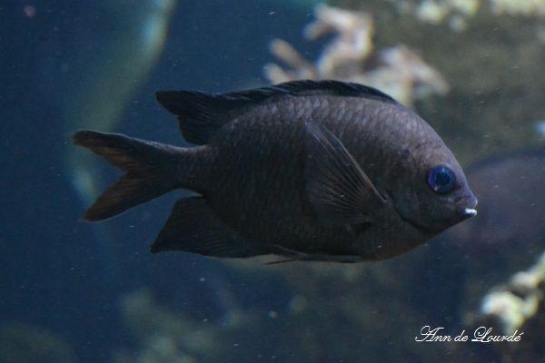 Acanthochromis Polyacanthus, Summer 2013, ZSL London Zoo, London, England, United Kingdom.