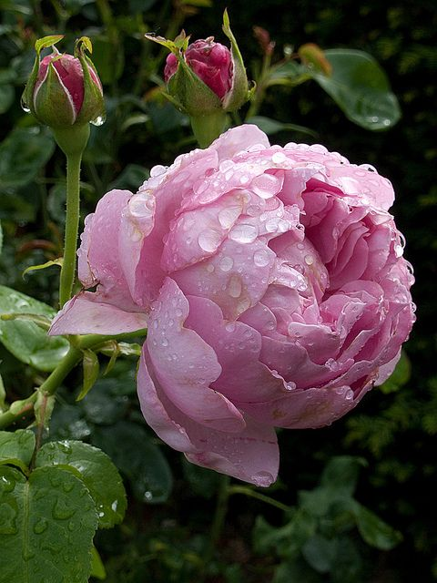 The Charles Rennie Mackintosh rose is a lovely lilac pink colored English rose by David Austin.