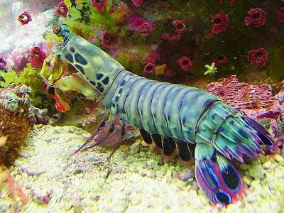 Peacock shrimp