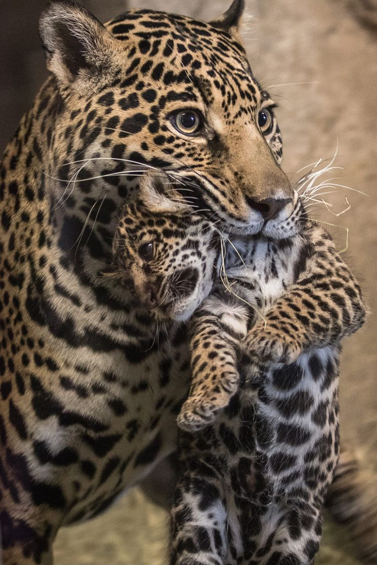 sdzoo: Baby on Board (photo by Bob Worthington)