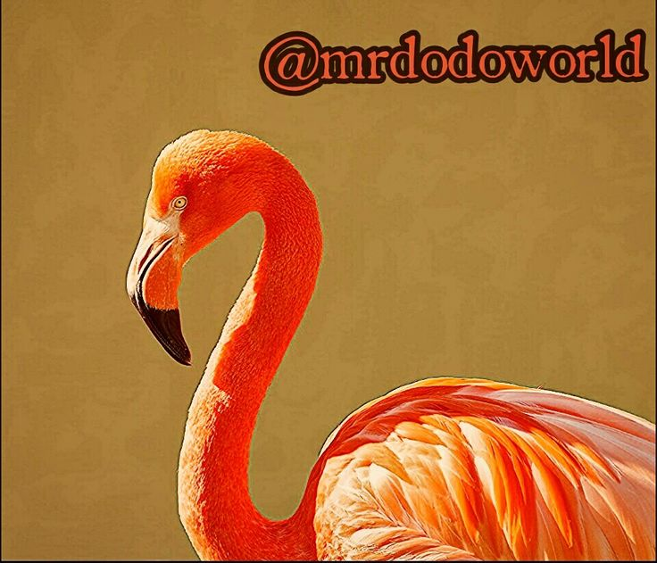 #flamingo #bird #pink #ropical #color #macro #close-up #orange #colorful #beautiful #nature #outside #photography #art #photooftheday #flamingolovers #birds #birdslovers #naturelovers #fly