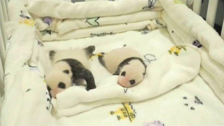 El primer mes de vida de dos osos panda