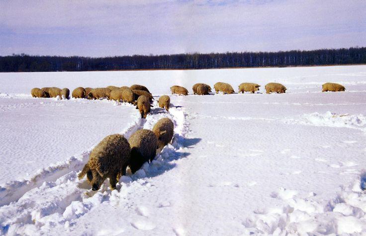 Soggetti di razza mangalica nella neve
