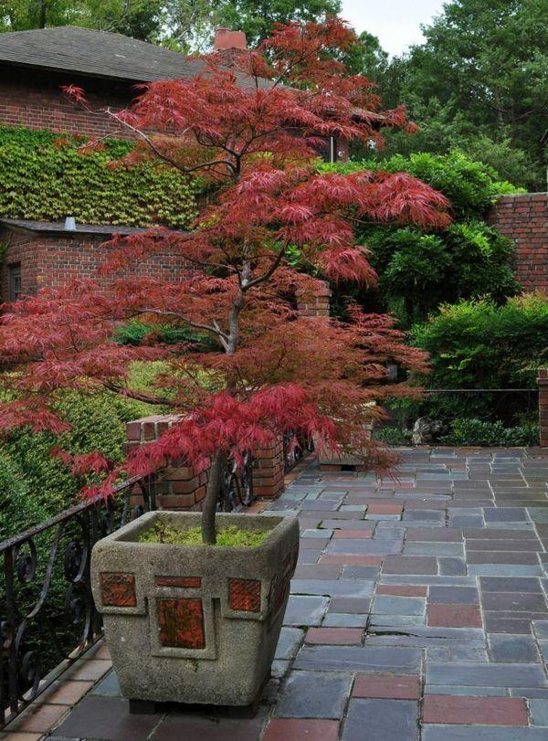 érable japonais dans la cour