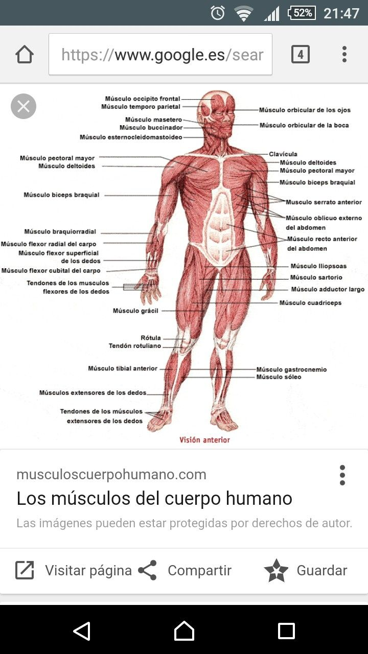 32 best MÚSCULOS DEL CUERPO HUMANO images on Pinterest | Human body ...