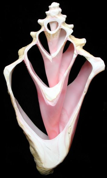 Conch Shell Cross Section