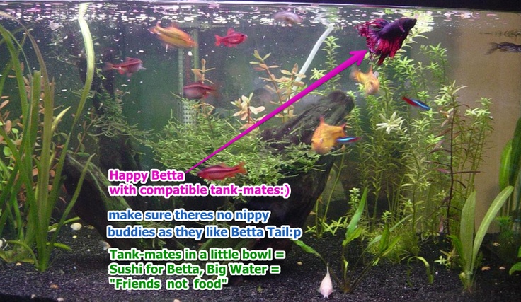 Happy betta with compatible tank mates make sure for What fish are compatible with betta fish