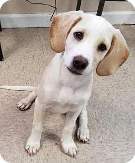 Hanover, PA - Beagle/Labrador Retriever Mix. Meet AMARA ~ BEAGLE MIX, a dog for adoption. http://www.adoptapet.com/pet/16978530-hanover-pennsylvania-beagle-mix