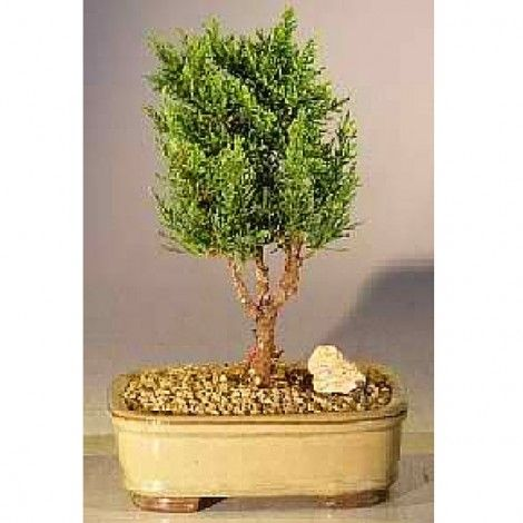 The Shimpaku Tree features tiny leaves forming a dense green canopy. This is great for beginners.  sc 1 st  Pinterest & 14 best Bonsai - Fairy Garden Decor images on Pinterest | Bonsai ...