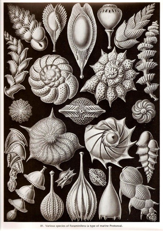 Various species of foraminifera (a type of marine protozoa) by Ernst Haeckel…