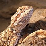 What Types Of Lizards Make Good Reptile Pets | Bearded Dragon Care