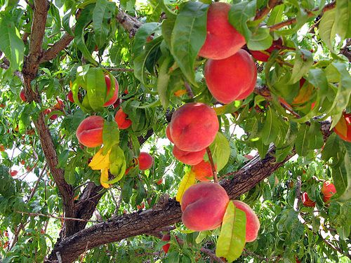 Yes it is a peach tree peach trees ect pinterest for Peach tree designs
