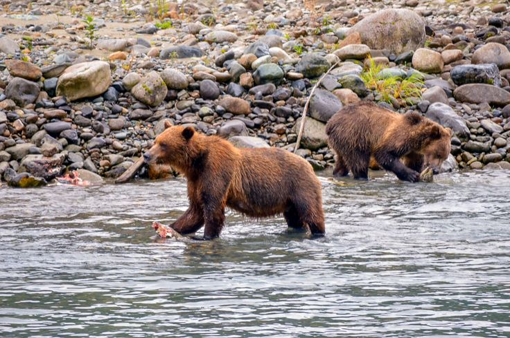 2 Bears fishing - Northern BC - Bear Aware Course Online