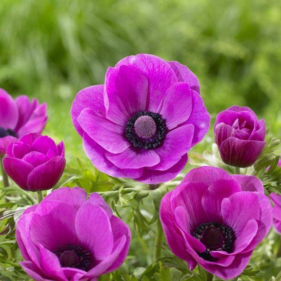 Bulb: Anemone De Caen SylphideCaen, Anemones De, Blue Black Center, Plants, Gardens, Anemones Sylphide, Pink Anemones, Flower, Anemones Anemones