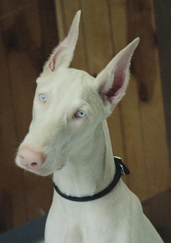 Doberman - white....this looks like a true albino. Beautiful dog - so sad that poor breeding is what brings this out. Potential health issues.