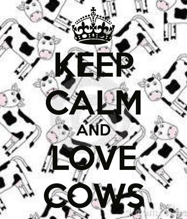 Funny Holstein Cows Images